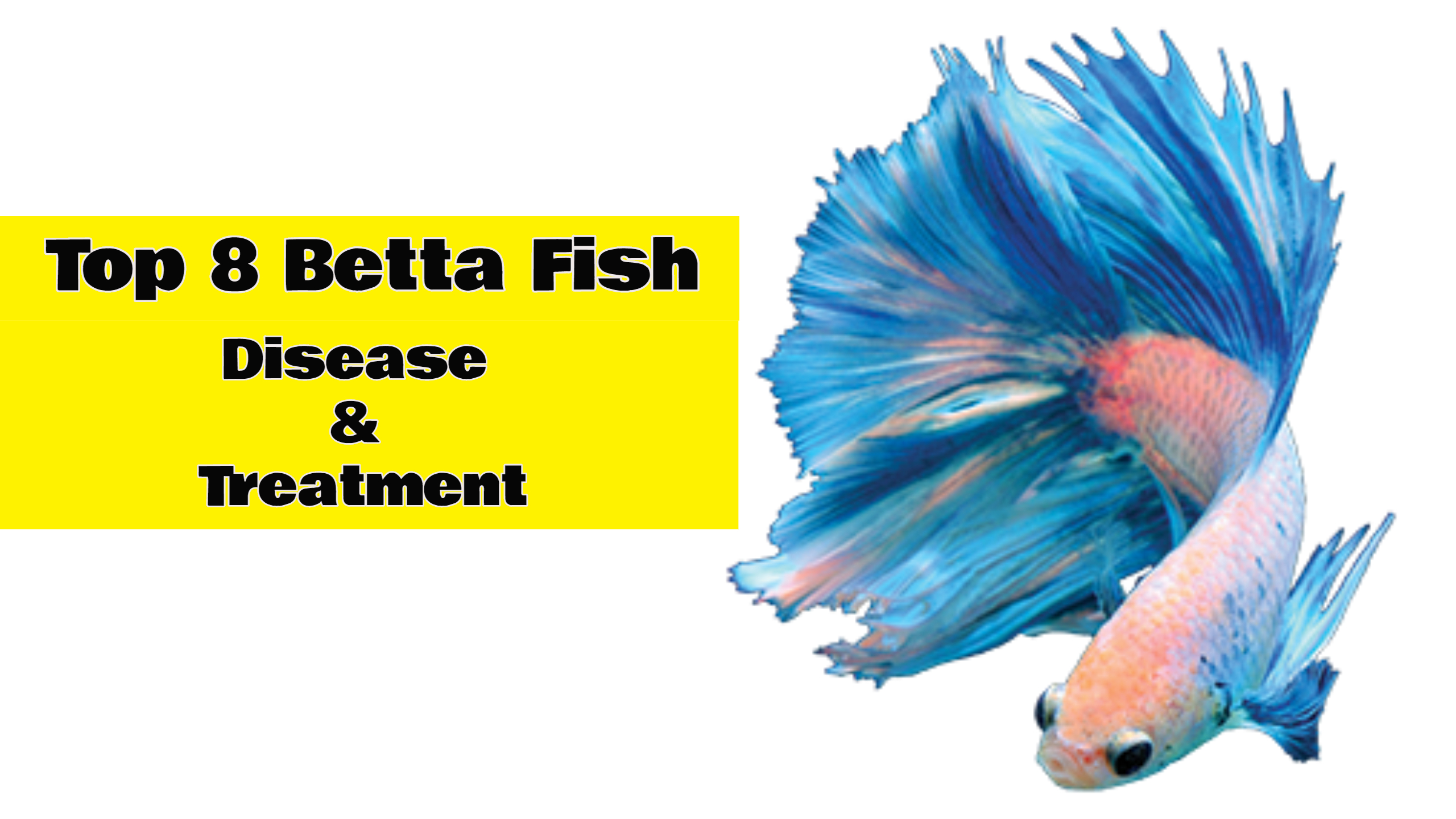 TOP 8 MOST COMMON BETTA FISH DISEASE AND TREATMENT